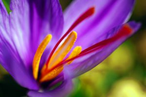 Saffron: A Medicinal Spice