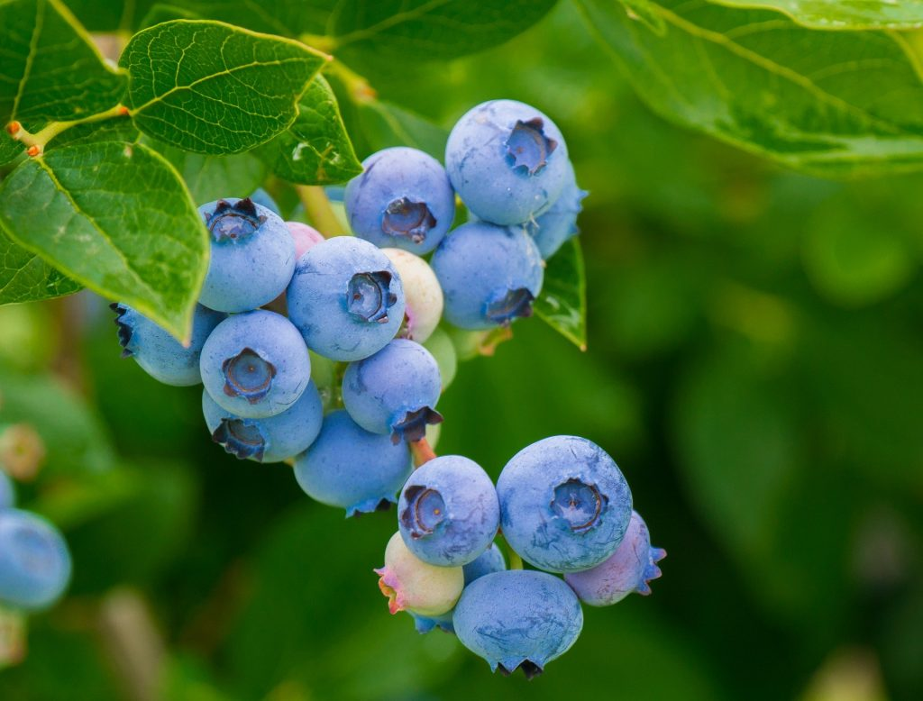 An example cup of fresh blueberries