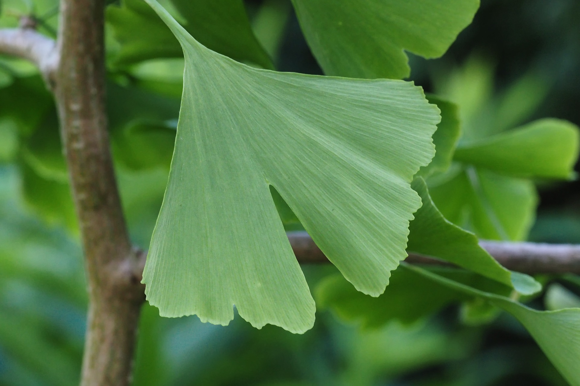 The Benefits of Ginkgo for Brain Health and Beyond
