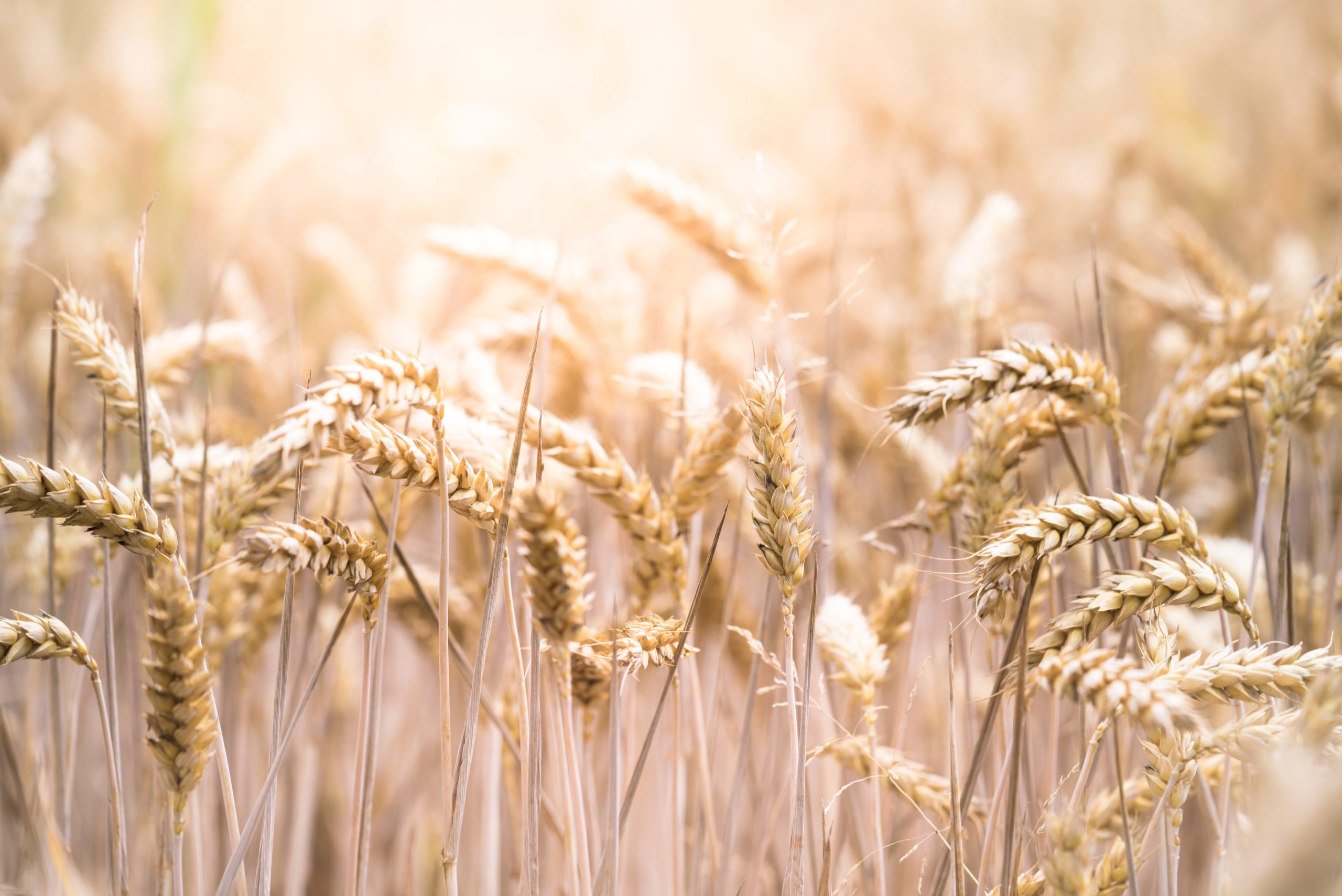 So, What's the Deal with Wheat?