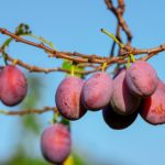Prunes: Potential Benefits for the Gut, Bones and Heart