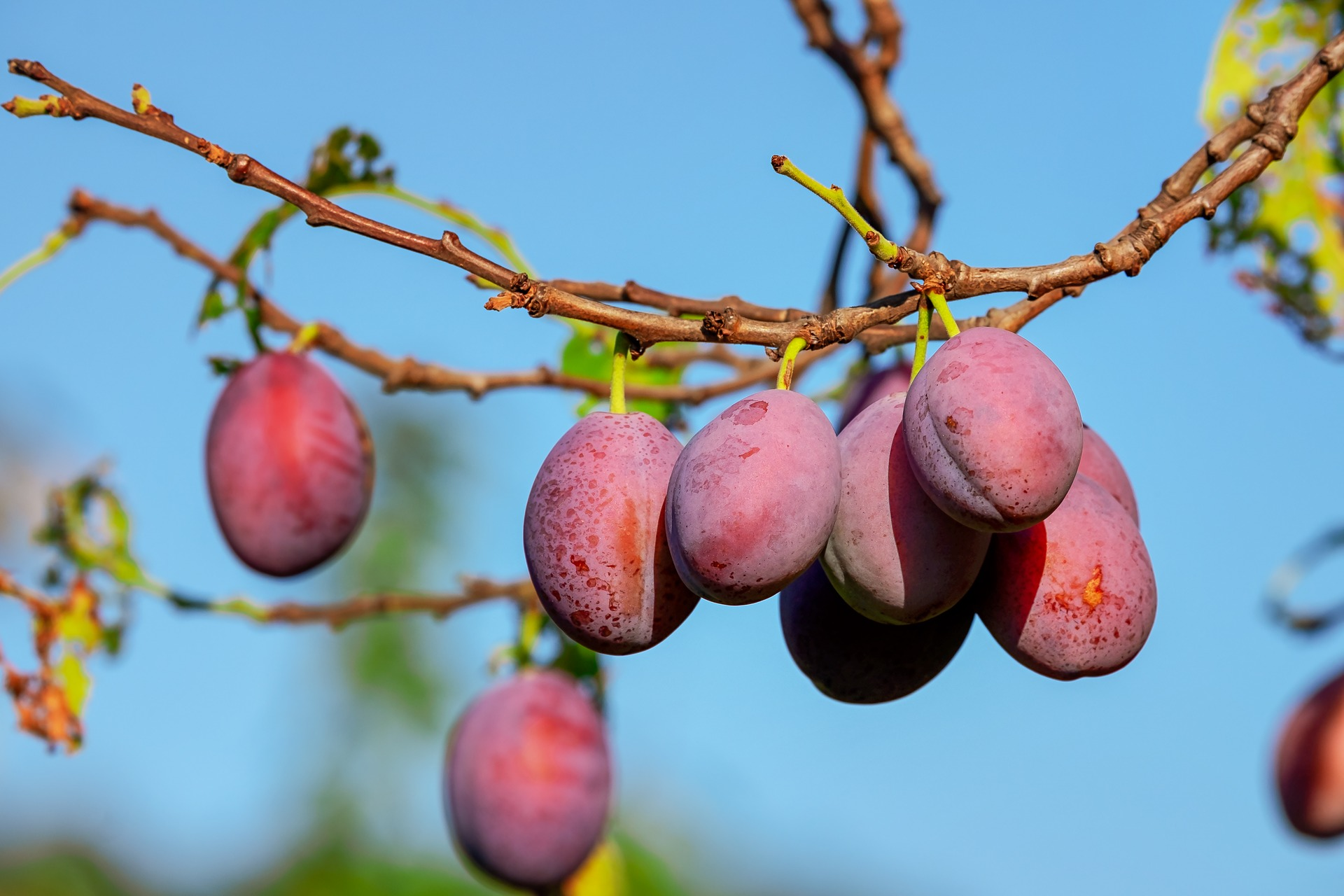 Read more about the article Prunes: Potential Benefits for the Gut, Bones and Heart
